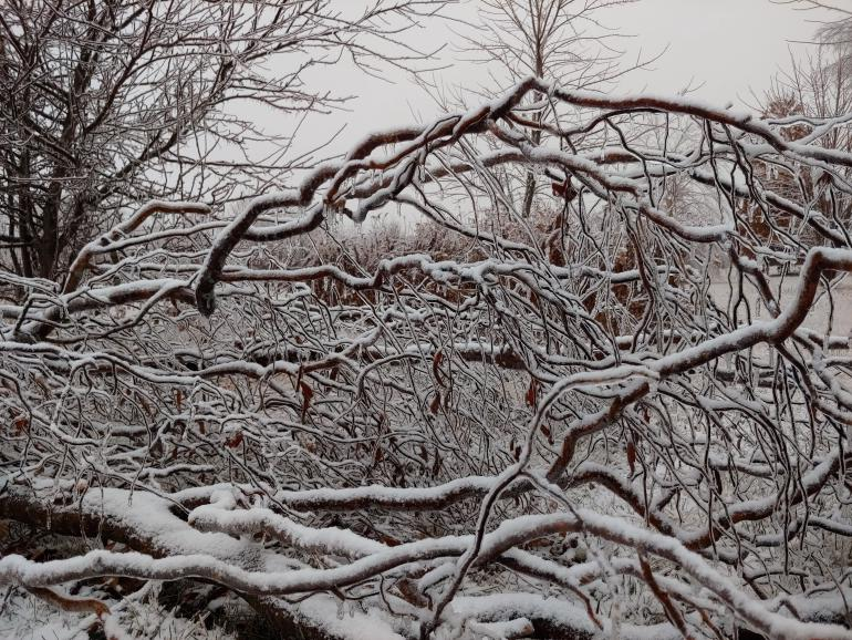 A close-up of ice encrusted snow covered curly willow branches from a branch that fell months ago.