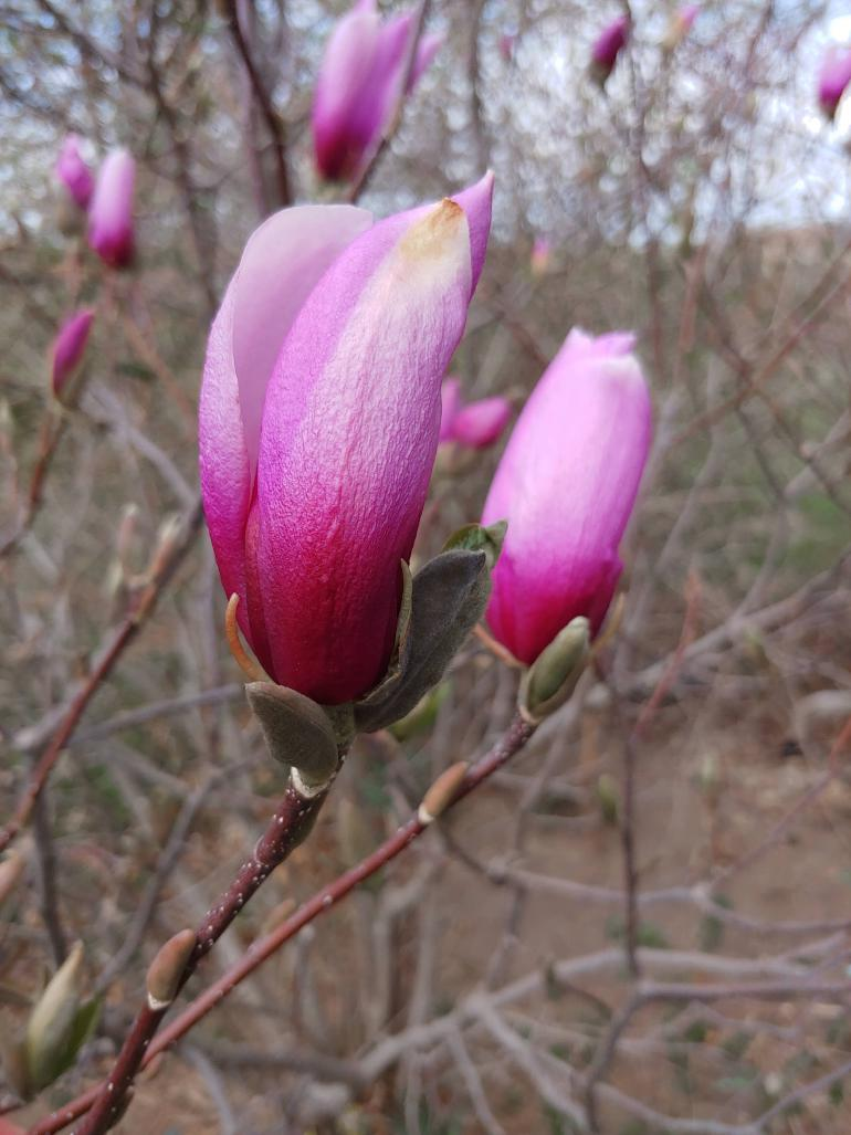 Two magnolia tree blossoms yet to unfurl.