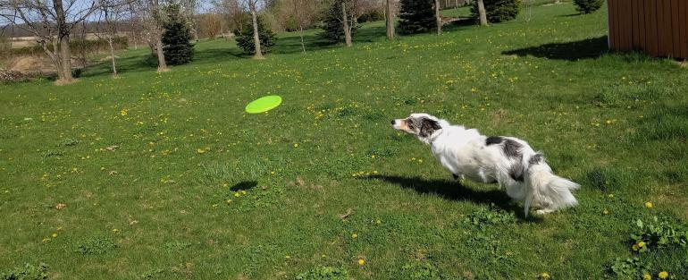 Owlbear Camus, a tri-color merle border collie, in mid-sprint chasing a thrown frisbee.